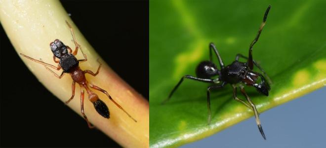 ant mimics 4