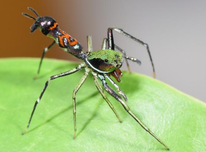 Orsima ichneumon - an ant-mimicking spider?
