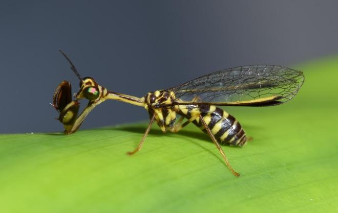 mantidfly