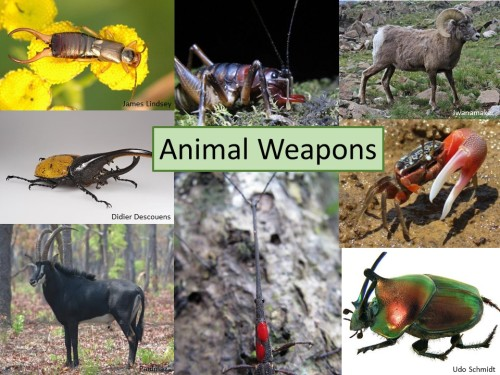 My intro slide from Behaviour2015 showing some of my favourite animal weapons