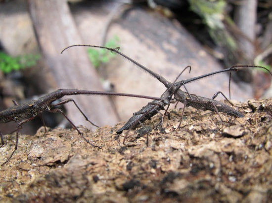 Male giraffe weevils use their elongated heads and enlarged jaws to fight among themselves for females