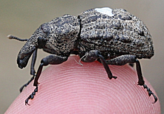 The Canterbury knobbled weevil, rediscovered in 2004.