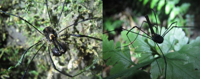 Two species of harvestmen from New Zealand highlighting the diversity in chelicerae form