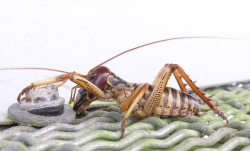 Male Wellington tree weta (Hemideina crassidens) like this one here have enlarged mandibles, but there are actually three different male morphs with varying degrees of mandible exaggeration. (Photo by: Tony Wills)