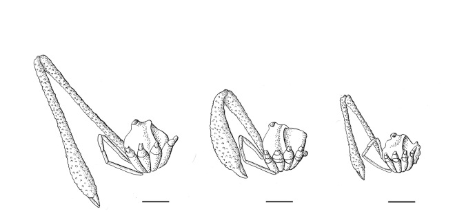Three male morphs of Pantopsalis cheliferoides with different investment in chelicerae size and shape. Illustrations by Emma Scheltema