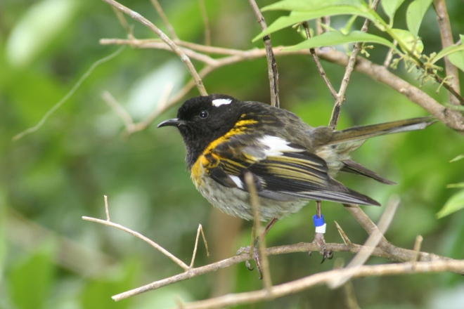 Male_stitchbird